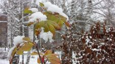 Free Leaf Under First Snow Royalty Free Stock Photos - 35642928