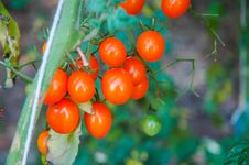 Free Small Tomatoes Stock Images - 35643584