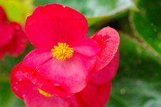 Free Fibrous Begonia Stock Photo - 35644540