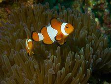 False Clownfish Stock Photography