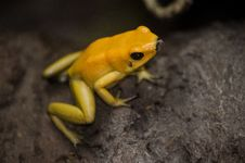 Free Yellow Frog Royalty Free Stock Image - 35648986