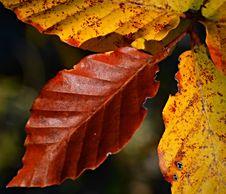 Autumn Beech Leaves Royalty Free Stock Photos