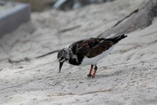 Free Ruddy Turnstone Stock Image - 35653471