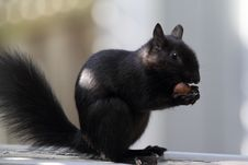 Free Black Squirrel Stock Photography - 35654152