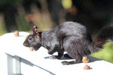Free Black Squirrel Stock Images - 35654204