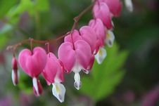 Free Bleeding Hearts Flowers Stock Photos - 35655023