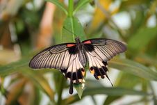 Free Swallowtail Butterfly Stock Photography - 35656222