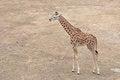Free Young Giraffe Stock Image - 35661691