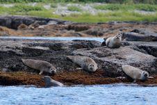 Seals Royalty Free Stock Photo