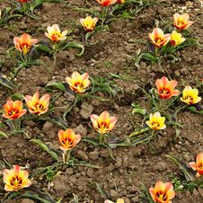 Free Flowerbed With Tulips Royalty Free Stock Photography - 35673697