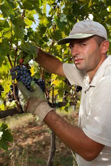 Free Harvesting Of Grapes In Hand Royalty Free Stock Image - 35674586