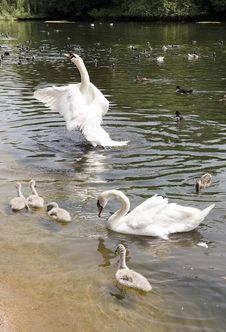 Free Family Of White Swans With Fledglings Royalty Free Stock Photography - 35676327