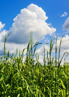 Free Barley Field Royalty Free Stock Photo - 35676465