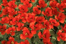 Free Background With Red Tulips. Royalty Free Stock Image - 35679946