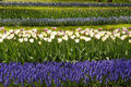 Free White Tulips With Blue Hyacinths In The Garden. Stock Image - 35682561