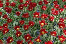 Maroon Tulips With Jagged Petals In The Garden Together With Blu Stock Photos