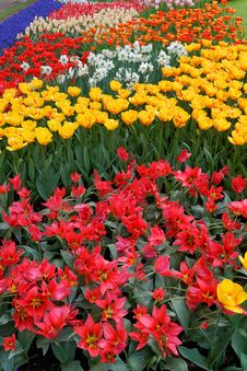 Tulips In Various Colors. Royalty Free Stock Photos