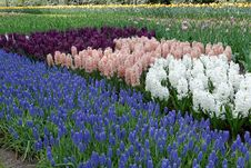 Free Hyacinths In The Garden. Stock Photography - 35683482