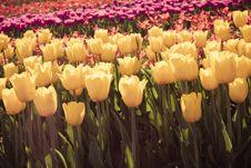 Free Tulips Royalty Free Stock Image - 35686726