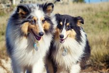 Free Two Shelties Stock Image - 35687721