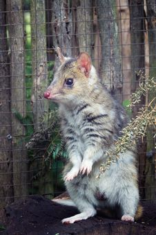 Free Eastern Spotted Quoll Royalty Free Stock Photos - 35687788