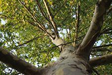 Free Tree &x28;Platanus&x29; Royalty Free Stock Photo - 35689415
