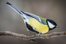 Free Great Tit Royalty Free Stock Image - 35694946