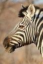 Free Zebra Portrait Stock Photography - 3574312