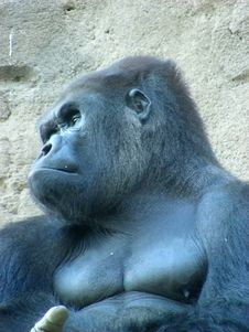 Face Male Gorilla Royalty Free Stock Photo