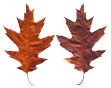 Free Maple Leaf Royalty Free Stock Photo - 3571585