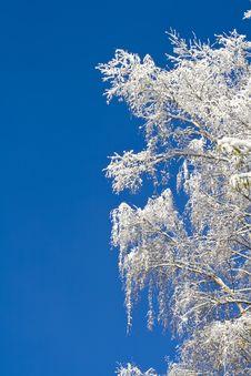 Free Birches 03 Stock Photos - 3572013