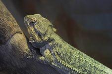 Free Reptile Royalty Free Stock Photos - 3572408