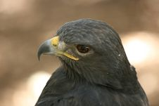 Free Harris Falcon Stock Images - 3572534