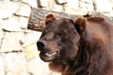 Free Brown Bear Stock Photos - 3573953