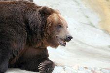 Free Brown Bear Royalty Free Stock Photo - 3573965