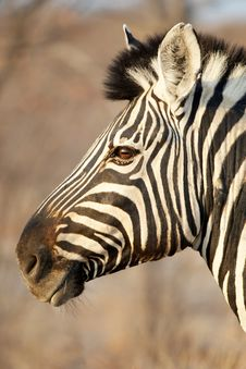 Free Zebra Portrait Stock Photography - 3574312