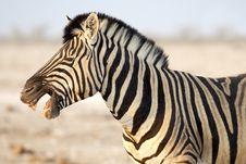 Free Smile Of Zebra Royalty Free Stock Images - 3574389