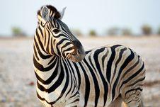 African Zebra Stock Photos