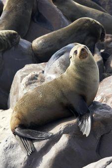 Free Breeding Seal Royalty Free Stock Photography - 3574837