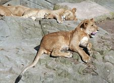 Free Relaxing Lions Stock Photography - 3575032