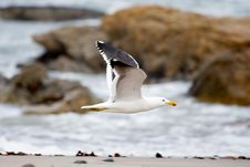 Free Gull In Flight Stock Images - 3575774