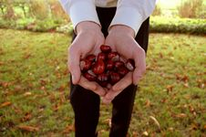 Male Hands Holding Chestnuts Stock Images