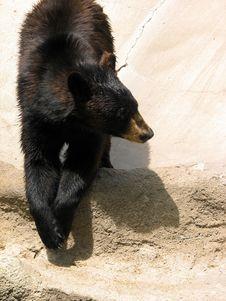 Free Black Bear Royalty Free Stock Images - 3576129