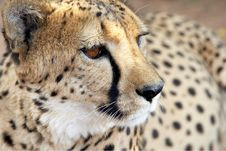 Free Cheetah Portrait II Royalty Free Stock Image - 3577386