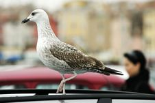 Free Seagull Stock Photo - 3577590