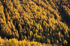Free Yellow Forest Royalty Free Stock Images - 3577599