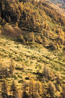 Pine Trees In Autumn Stock Photography