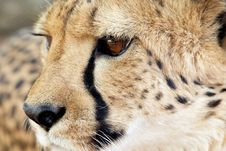 Free Cheetah Portrait IV Royalty Free Stock Photography - 3577717