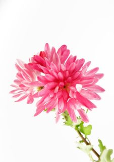Free Pink Aster Royalty Free Stock Photo - 3578355