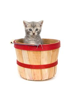 Gray Kitten In Apple Basket